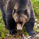 Wat te doen als een beer op je afkomt in Canada?