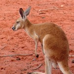 Kangaroo Sanctuary Sunset Tour